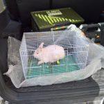 小兔子死了